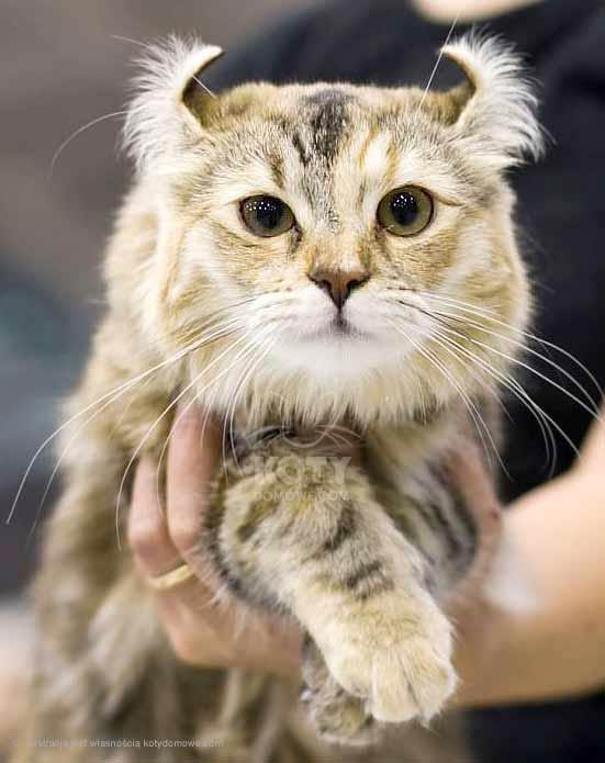 Kot Amerykański Curl Długowłosy Rasowe Koty Domowe