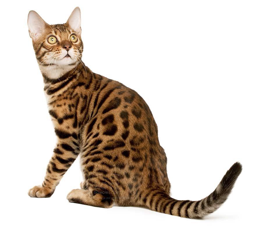 Kot Bengalski Rasowe Koty Domowe