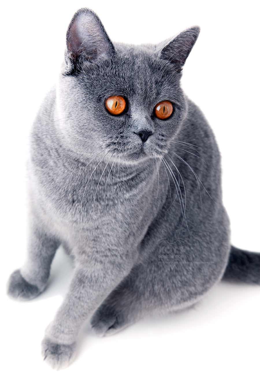 Kot Brytyjski Krótkowłosy Rasowe Koty Domowe