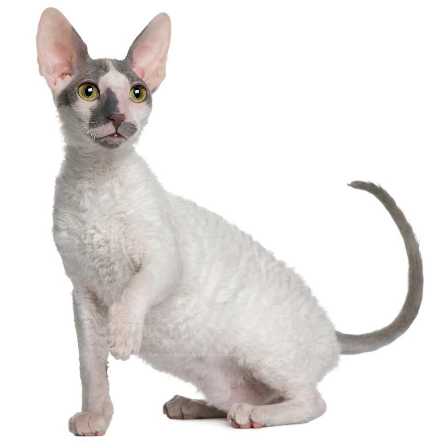 Kot Cornish Rex Rasowe Koty Domowe