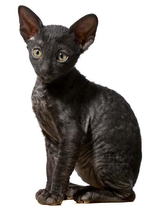 Kot Dewon Rex Rasowe Koty Domowe