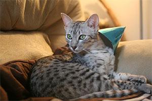 Kot Egipski Mau Rasowe Koty Domowe
