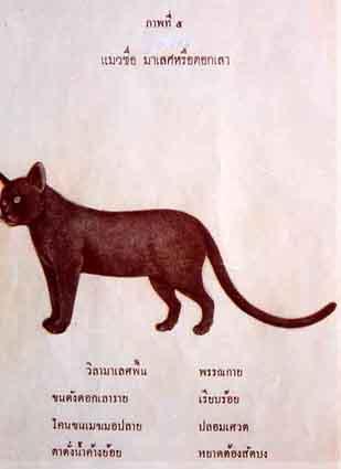 Kot Korat Rasowe Koty Domowe