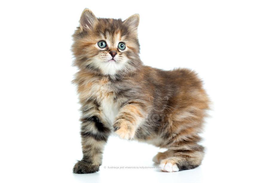 Kot Kurylski Bobtail Długowłosy Rasowe Koty Domowe