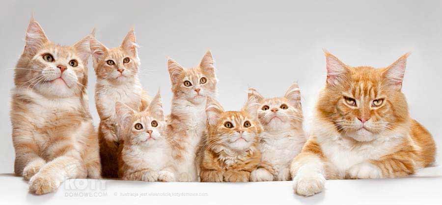 Kot Maine Coon Rasowe Koty Domowe