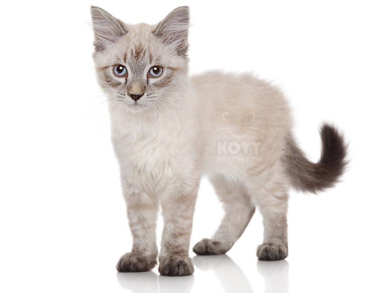 Kot Neva Masquerade Rasowe Koty Domowe