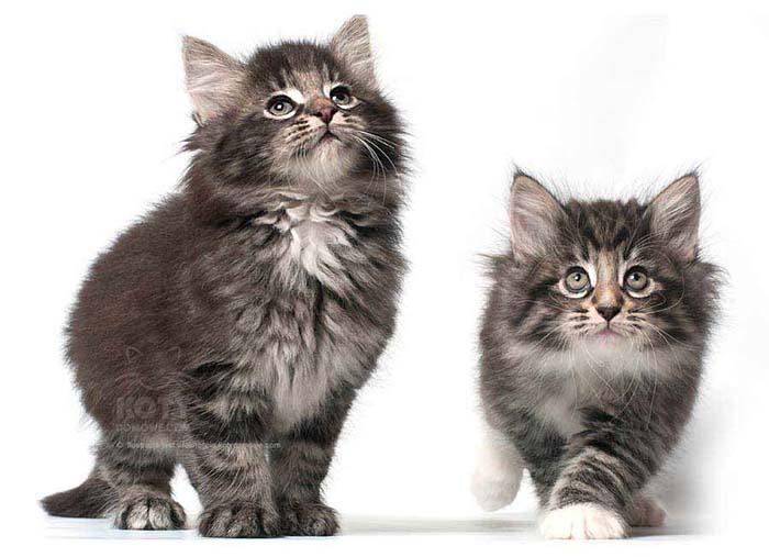Kot Norweski Leśny Rasowe Koty Domowe