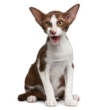 Kot Orientalny Krótkowłosy Rasowe Koty Domowe