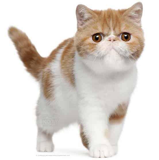 Kot Perski Bikolor Tabby Rasowe Koty Domowe