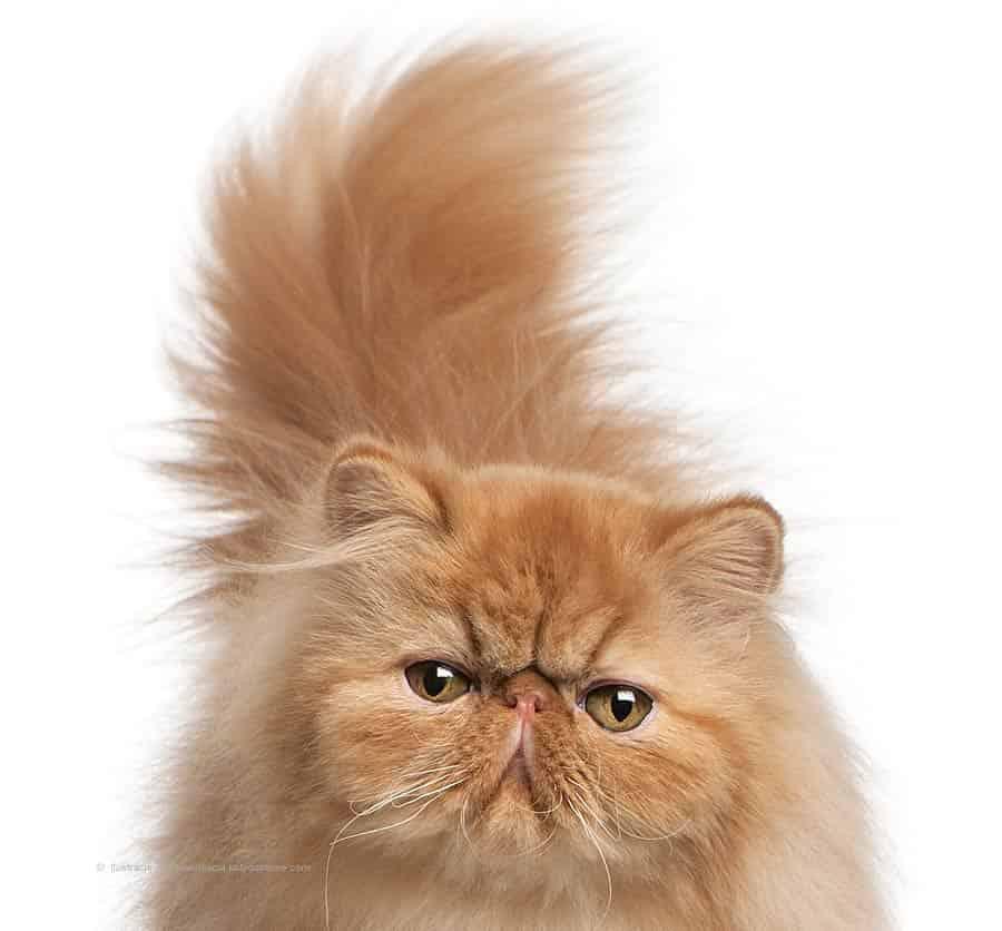 Kot Perski Tabby Rasowe Koty Domowe