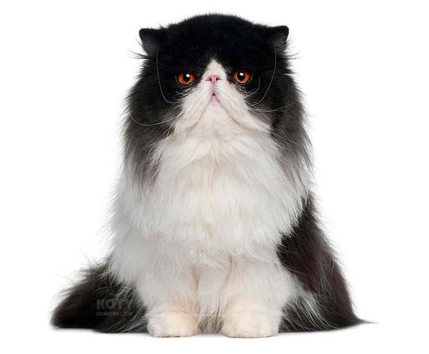Kot Perski Bikolor Rasowe Koty Domowe