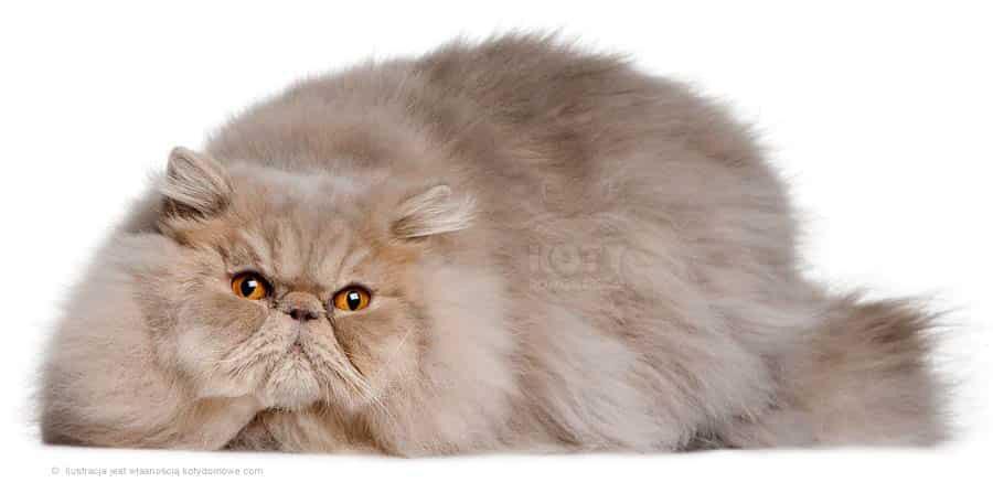 Kot Perski Jednobarwny Rasowe Koty Domowe