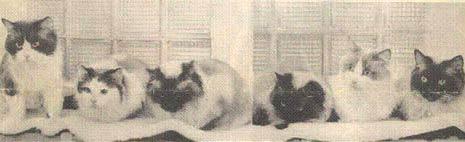 Kot Ragdoll Rasowe Koty Domowe