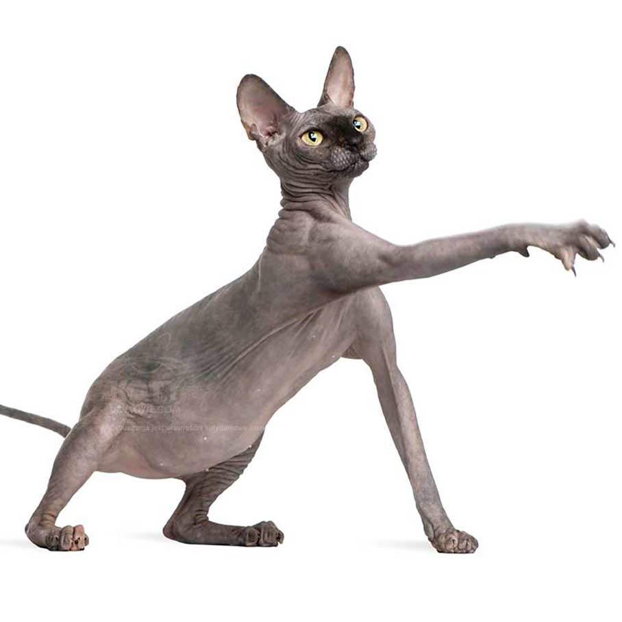 Kot Sfinks Rasowe Koty Domowe