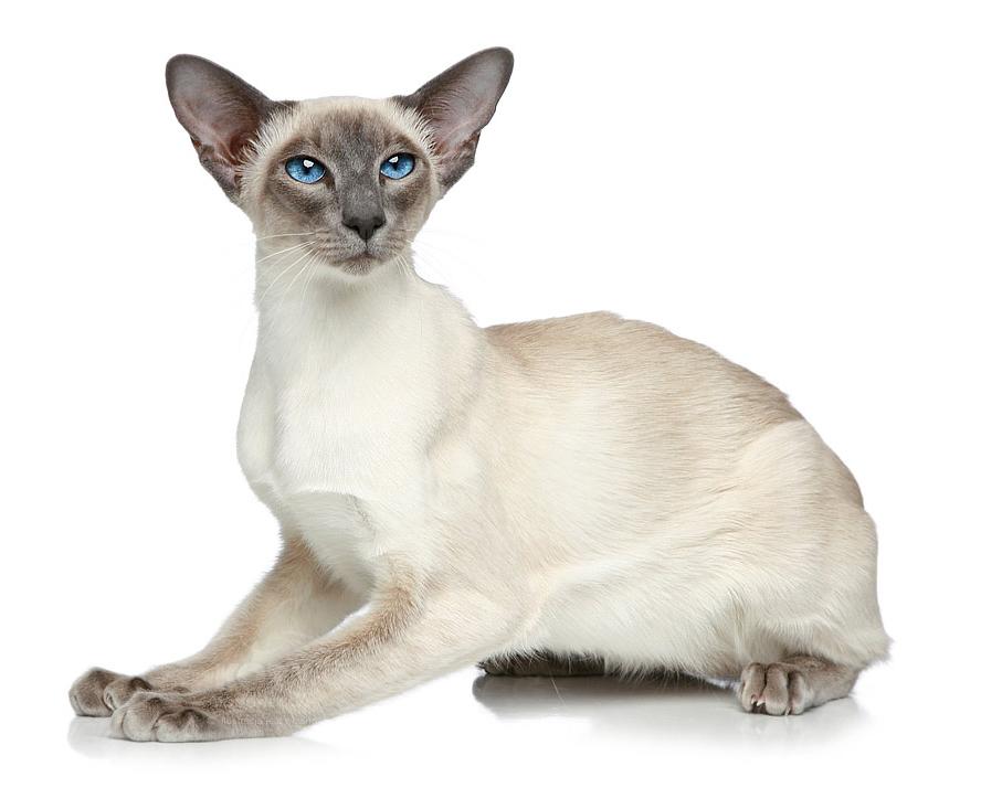 Kot Syjamski Rasowe Koty Domowe