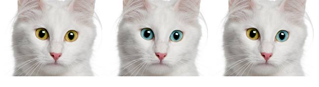 Wspaniały Kot Turecka Angora – Rasowe Koty Domowe XG14