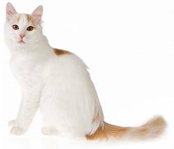 Kot Turecki Van Rasowe Koty Domowe